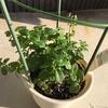 モヒートを飲むために、ついにミントの栽培を始めた