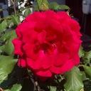 赤いバラのお喋りブログ