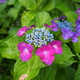雨の日紫陽花