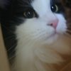 ラガマフィンという猫がいる暮らし