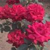 薔薇 と 鳩