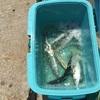 みんなの北海道釣り情報【函館湾】苫小牧に負けず函館湾でもサバが大漁!!