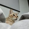 16歳の老猫「シグレ」ずっと一緒に居たのに3時間の間に天国へ行ってしまった・・・