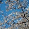 なんてこったい!それでも桜は美しい