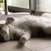 【愛猫日記】毎日アンヌさん#51