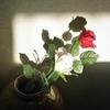 造花のバラと午後の太陽が作る一瞬!