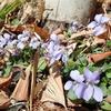 まとまって咲く花スミレ その理由は種にあり!