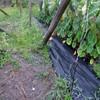 里芋畝の除草