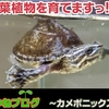 【アクアポニックスに注目!】カメは水が汚れる!!植物で亀対策します!