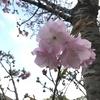 「マダム倶楽部」活動報告 ピンクの桜♪ 緑の桜♪ 白い桜♪ 4月3日