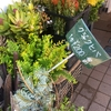 花屋さんにクジャクヒバの枝が 何に使うの?(多分クリスマスリース) クジャクヒバは青森檜葉の近縁種?(近縁といっても別の属)
