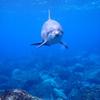 御蔵島で野生イルカと泳いできました