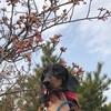 河津桜はまだでした