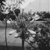 アガパンサスが咲きました