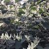 オオイタドリの雄花