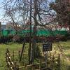 山口県下松市切戸川河川公園にある池坊下松支部創立60周年記念樹の桜!