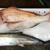 長島でカヤックフィッシング、ロクマルの真鯛など