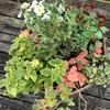 秋冬のウインターコスモスの寄せ植え!修正有りで完成です。