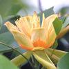 今日の誕生花「チューリップノキ」かわいらしいチューリップ似た花!