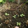 種蒔きのいろいろ~採り蒔き、こぼれ種万歳!