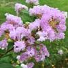 矮性サルスベリの花々