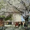 夢のような桜散歩