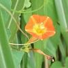 マルバルコウソウ 『 五角形のオレンジ色の花 』