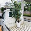 ガジュマルの木を搬入 炭火屋 串RYU