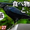 0927【カラスの捕食と餌隠し】カエルやバッタが食べられる。カルガモ悲劇の奇形、バン雛(若鳥)、モズの鳴き声。ムクドリとオナガが柿を食べる【 #今日撮り野鳥動画まとめ 】 #身近な生き物語