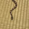 コーンスネーク - 拒食の蛇が食べるようになるまで