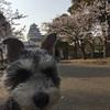 犬と桜と姫路城