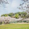 実籾本郷公園の桜  その1@千葉県習志野市