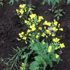 ケールの花。もうすでに種ができてるんだけど
