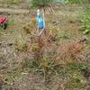 樹木医師の黒松の病気、殺菌剤散布
