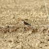 開けた農耕地で獲物を狙うコチョウゲンボウ