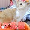 【ミニウサギのサスケ先輩】うさぎがまさかの猫じゃらしにどハマりするかわいいシーン満載動画