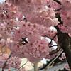 【福岡】櫛田神社の河津桜と沖縄の寒緋桜