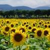 済州島(チェジュ島)のひまわり畑(2) #Let's Run Farm Jeju