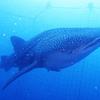 ♪念願のジンベエザメと一緒に泳いだよ♪〜沖縄ジンベエザメダイビング♪