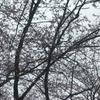 桜・・咲き始めるも・・