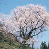 山桜/今日の俳句 ≪第2455号≫