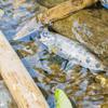 渓流キャンプでテンカラ釣りして初めての1匹を釣り上げた!