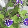 3日連続でアサガオが3つ咲いた