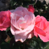 バラの花 咲いています!(2021年5月6日)