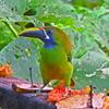 空飛ぶバナナ?熱帯の人気者、オオハシを紹介。