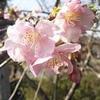 ☆花 河津桜 & 世界で一番美しいスタバ & 猫