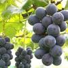 健康にいい!ブドウに含まれる栄養と健康効果10選について