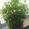 豆苗のキッチン栽培 7日目 弦が出る前に収穫しよう