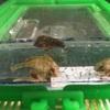 8月8日 ハオコゼの稚魚可愛いから見て