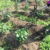 【オルかな農園報告⑨~なすとプチトマト収穫!落花生とサツマイモ、ネギ、モロヘイヤを植えました~】